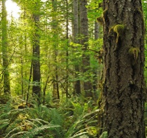 Clatsop Forest proposed clearcut (photo by Trygve Steen)