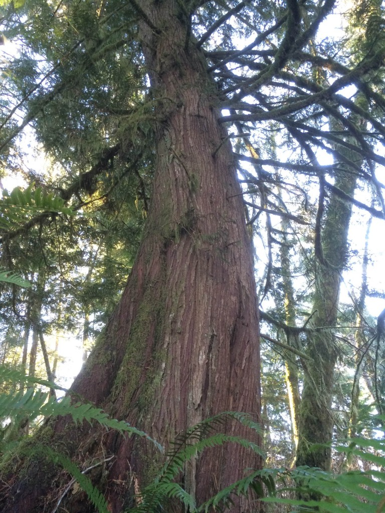 This large, old western redcedar may be logged as part of the Homesteader clearcuts.